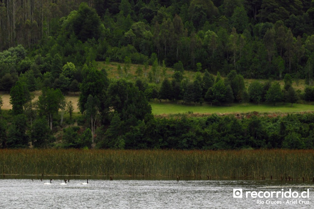 Cisnes de cuello negro en Río Cruces - Enero 2015