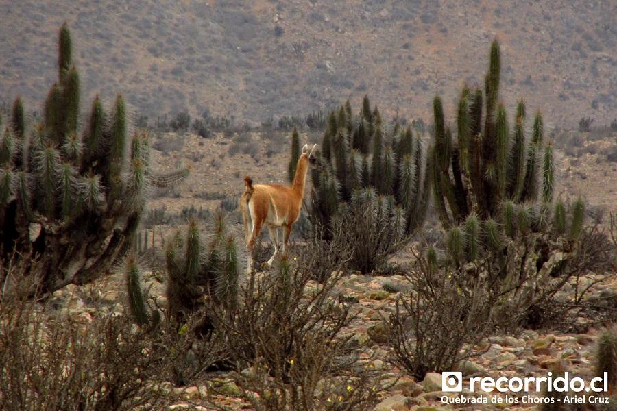 guanaco - quebrada de los choros - ecoturismo la serena
