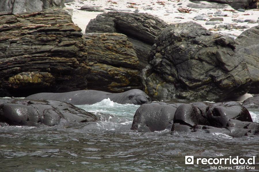 elefante marino - isla damas - id