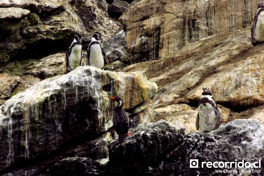 cormorán lile - pingüino de humboldt - isla choros - ecoturismo la serena