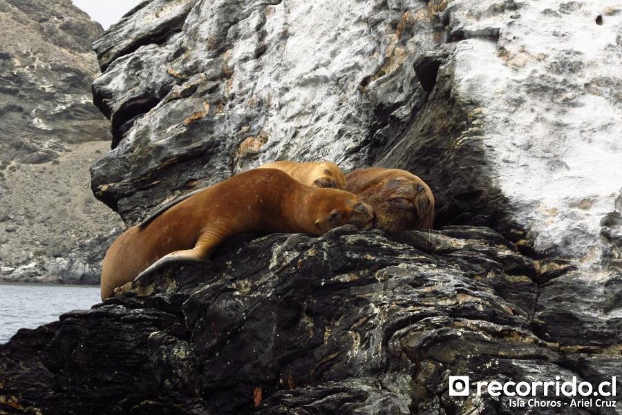 lobos marinos - isla choros - familia - ecoturismo la serena