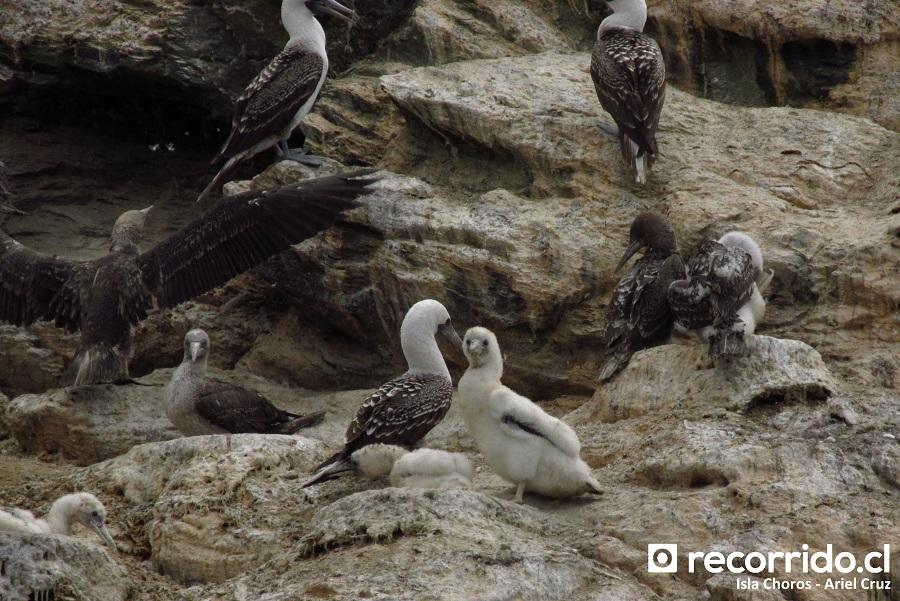 piqueros - isla choros - ecoturismo la serena