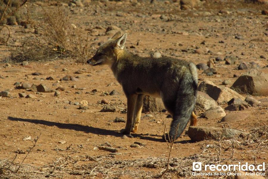 zorro - quebrada de los choros - ecoturismo la serena