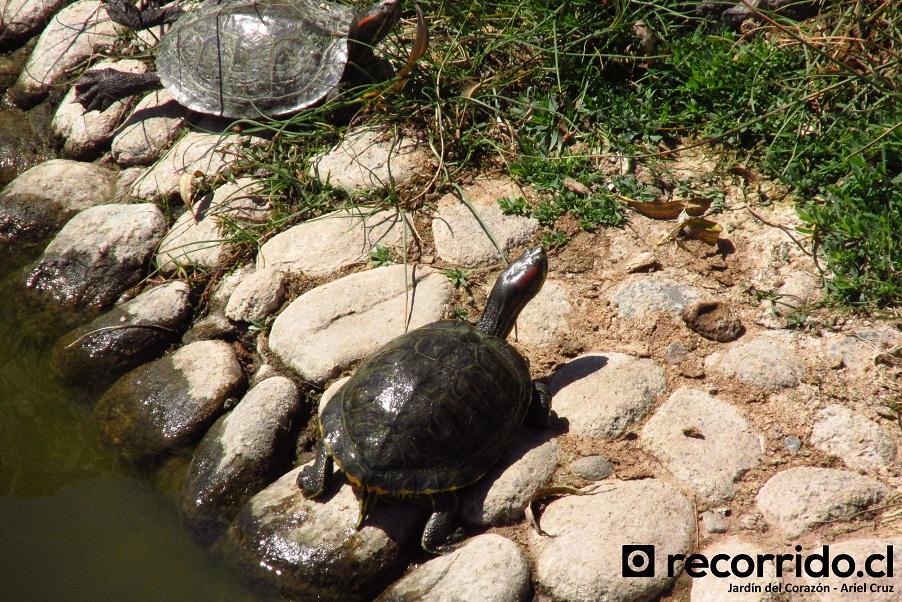 tortugas - jardín japonés - la serena