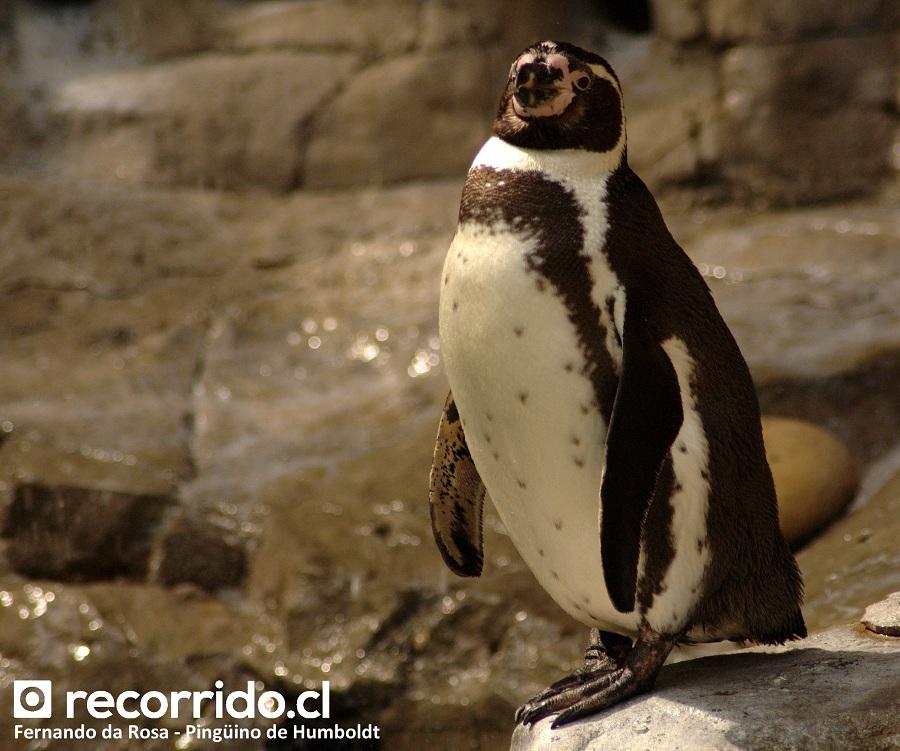 fernando da rosa - pingüino humboldt - zoológico