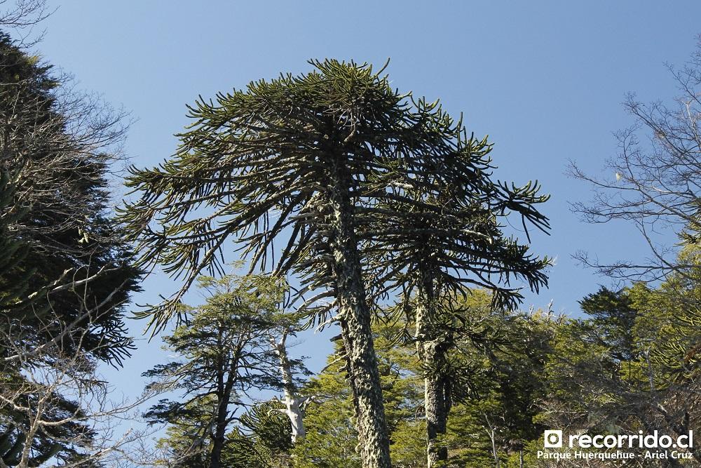 Araucaria en Parque Nacional Huerquehue